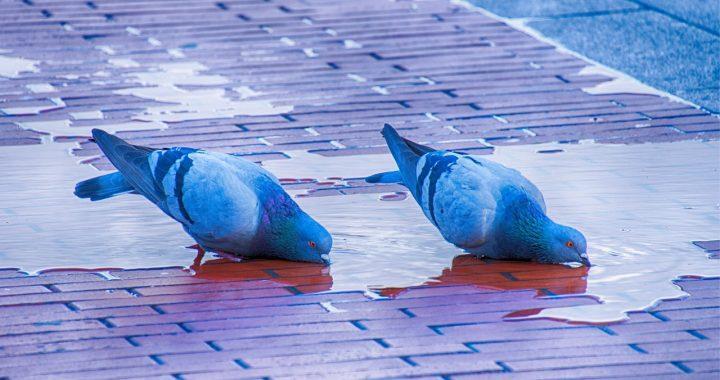 La paloma: ser urbano